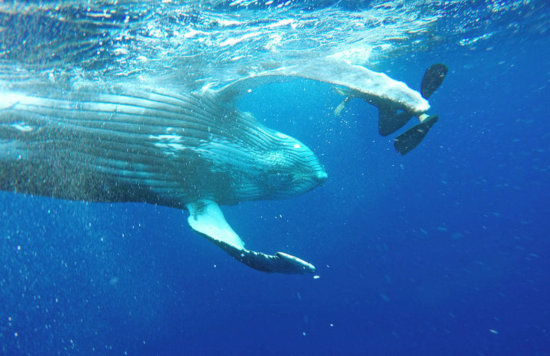 Buckelwale Humpback Whale Junges Walkalb Schwimmen Mit Walen Swimming With Whales Tonga Young Whale Calve
