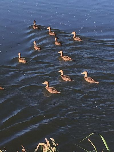Swimming Lessons Chuylui Photography Nature Photography Outdoor Photography Birds Nature_collection