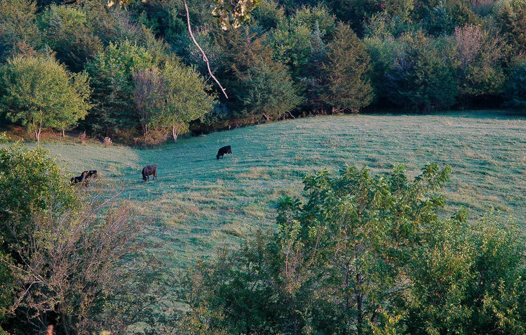 Cattle Cattle Grazing Beauty In Nature Nature No People Green Color Outdoors Growth Tree Animal Themes Rolling Hills Galena Horseshoe Mounds Travel Destinations Galena, Illinois Rural Scene Growth Landscape Tranquility Scenics Branch Beauty Is Everywhere  Evening Sky Vacations Blue Grass