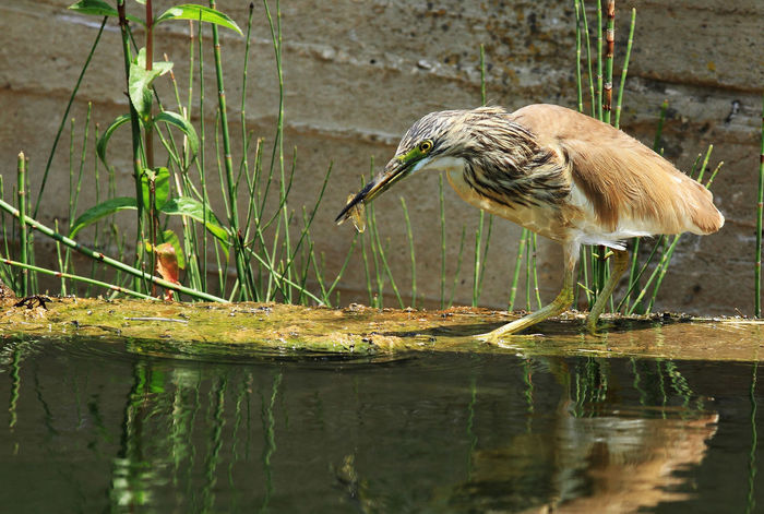 Animal Themes Animal Wildlife Animals In The Wild Bird Close-up Day Full Length Gray Heron Lake Nature No People One Animal Outdoors Perching Reflection Water Waterfront