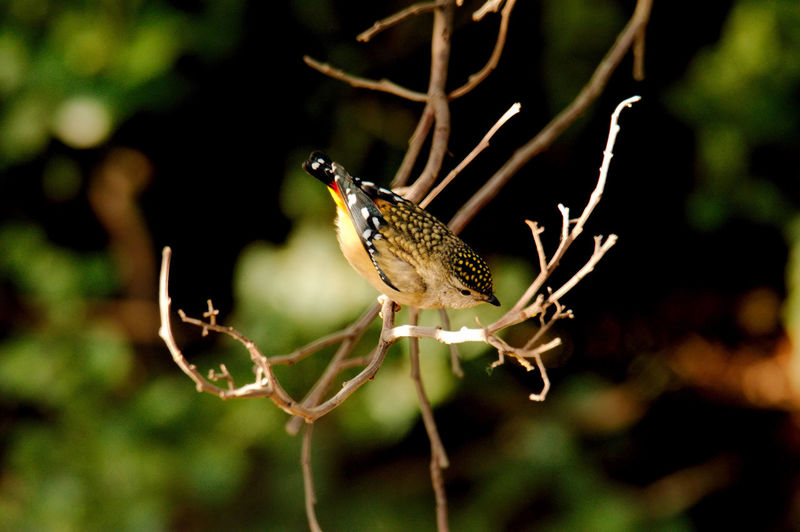 birds australian natives Australian Birds In The Wild Animals In The Wild Animal Wildlife Animal Themes Animal One Animal Plant Bird Focus On Foreground Vertebrate Perching Tree No People Close-up Nature Branch Day Beauty In Nature Selective Focus Outdoors Growth