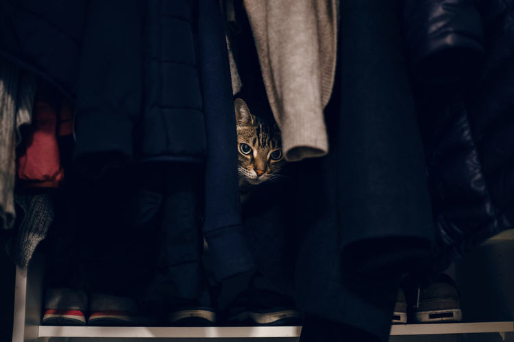 Funny scared tabby pet cat hiding in clothes at closet.