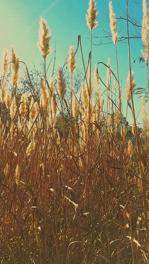 Nature Outdoors Growth Beauty In Nature Autumn Colors Dried Grass Autumn Dried Flower Outdoor Photography Macro Softness Flowers Dried Flowers Tall Grasses Over Growth SkyGrowth Wild Flower Freshness Close-up Nature_collection Wild Grasses Fluffy