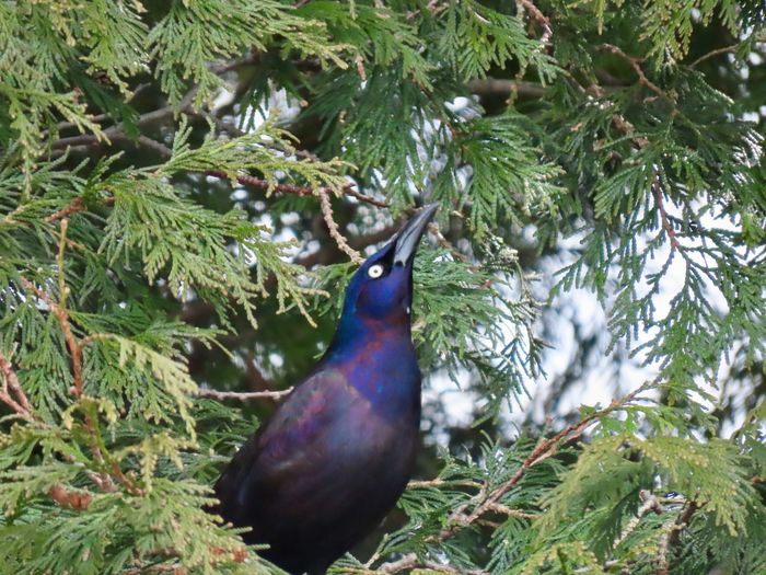 Grackle in the trees low angle view beauty in nature birdwatching outdoors closeup