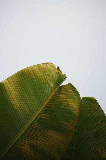 Low angle view of banana leaf on plant against sky
