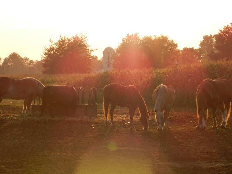 Evening Graze Beautiful Calm Eating Evening Farm Farm Life Food Grazing Grazing Horse Horse Horse Life Horse Photography  Horses Horses Are My Life Light Leak Many Horses Michigan Munchdown Nature Peaceful Pony Senic Tranquil Scene Tranquility Trees