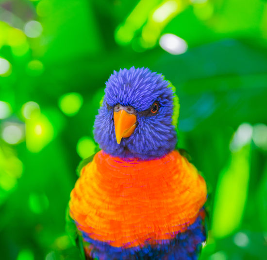 Colorful rainbow lorikeet parrot Lorikeet Parrot Bird Animal One Animal Close-up Rainbow Lorikeet Multi Colored Outdoors Nature Vibrant Color Blue Trichoglossus Haematodus Australian Tropical Coconut Animal Wildlife Feather  Exotic Fauna Cute Avian Parakeet Background Portrait