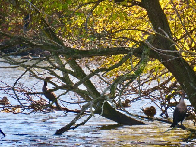 Cormorants in a tree branches leaves water at the pond autumn in New York Beauty In Nature Tranquility Outdoors No People