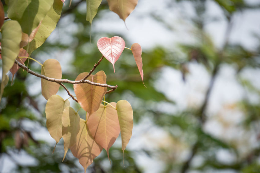 Pho Leaves Young Leaves Tree Outdoors Nature Leaf Branch Day No People Beauty In Nature