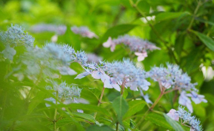 穏やかな一日を… あじさい 山紫陽花 日だまり Natural Flower EyeEm Gallery EyeEm Best Shots EyeEm Nature Lover Flower Collection