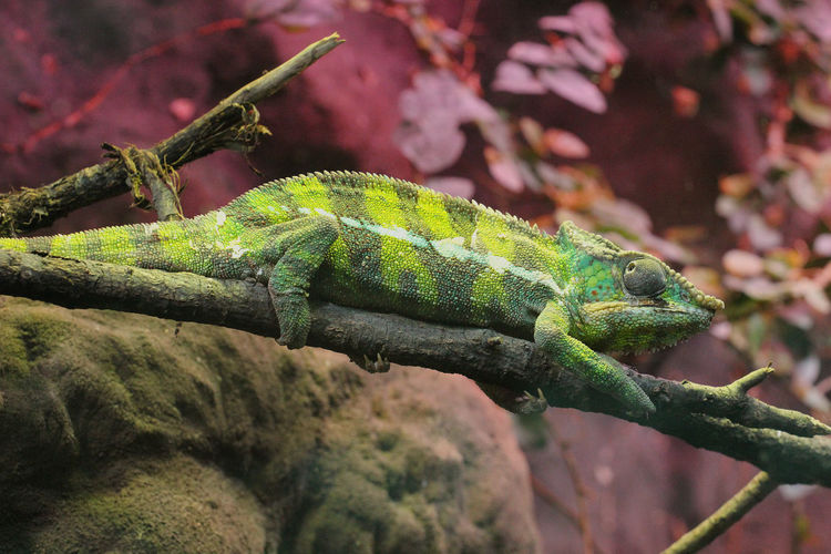 Animal Themes Animals In The Wild Animal Wildlife Animal One Animal Green Color Reptile Lizard No People Close-up Focus On Foreground Vertebrate Nature Branch Selective Focus Chameleon Tree Animal Head  Animal Scale African Fauna Fauna Of Madagascar Furcifer Pardalis Panther Chameleon Green Chameleon Wildlife