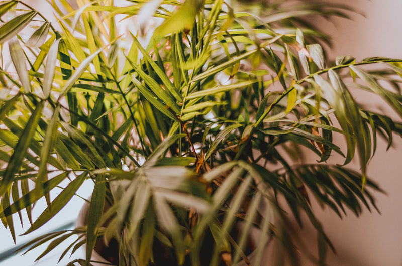 Plant Growth Green Color Close-up Leaf Nature Selective Focus Plant Part No People Beauty In Nature Day Tree Outdoors Food And Drink Focus On Foreground Branch Freshness Food Tranquility Potted Plant Coniferous Tree Poland Home Design Scandinavian