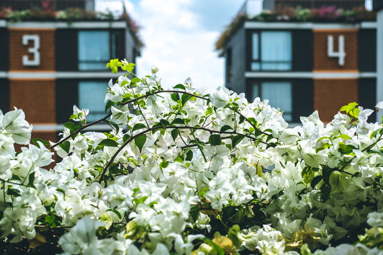 Close-up of white flowering plant against building