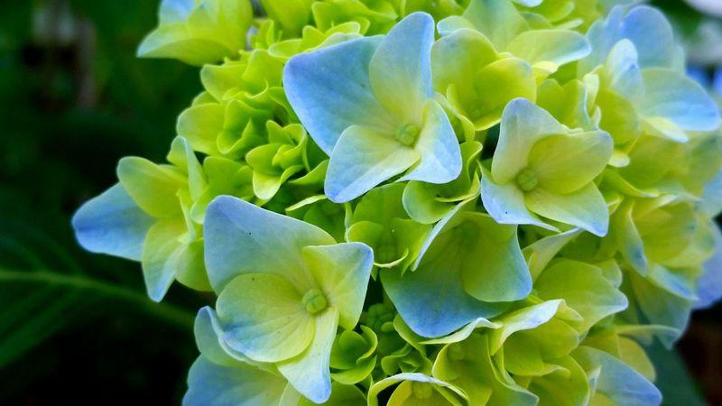 Baby Blues. Taken with Samsung Galaxy S5. In My Garden Flowerporn Nature EyeEm Nature Lover