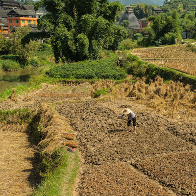 Peasant working in rice field Agriculture Animal Themes Architecture ASIA Building Exterior Built Structure China Chinese Cultures Day Dong Dong Villages Field Nature One Person Outdoors Peasant People Real People Rice Field Rural Scene Sanjiang Traditional Tree Village
