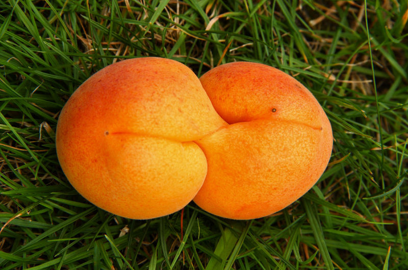 apricot, biting its own tail Beauty In Nature Close-up Day Focus On Foreground Grass Green Color Kiss Mutation Nature No People Orange Color Organic Outdoors Ripe Sixty Nine Apricot Apricots Two Is Better Than One Eyeemphoto The Magic Mission