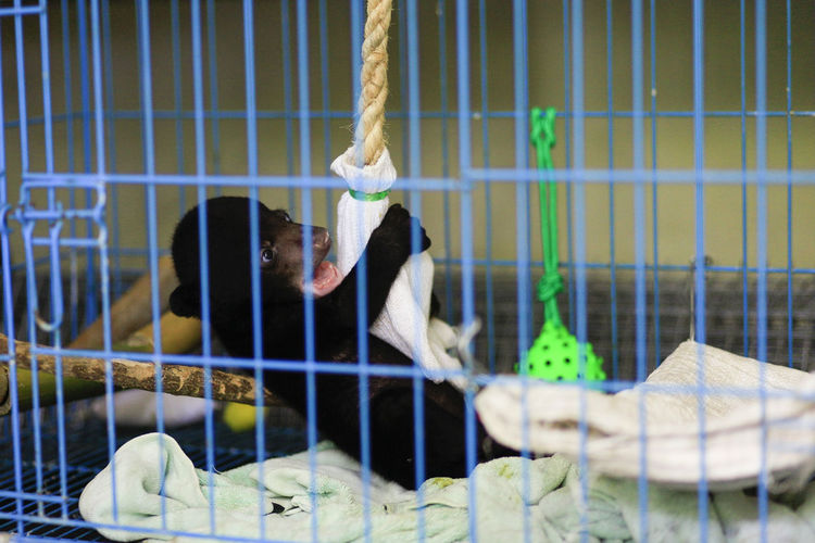 Baby sun bear the smallest bear species in the world during treatment at the wildlife rescue center