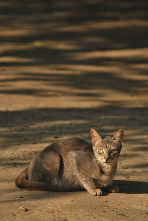 Animal Wildlife Cat Domestic Domestic Animals Domestic Cat Feline Full Length Looking At Camera Mammal Nature No People One Animal Pets Portrait Relaxation Vertebrate Whisker