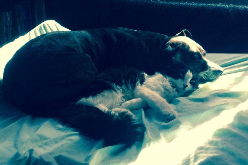 #cuddle #kitten #pitbull #love #adorable #CatsAndDogs Friendship