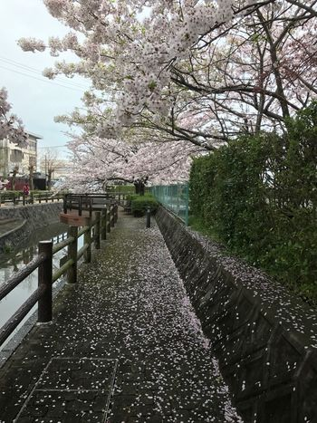 花吹雪🌸 Tree Nature Growth Blossom Flower Beauty In Nature Outdoors City Day No People Water Freshness Happy Iphone7 EyeEm Gallery EyeEm Best Shots Fukuoka Love Japan Cherry Blossom 遊歩道 大川 桜 花吹雪 仕事帰り