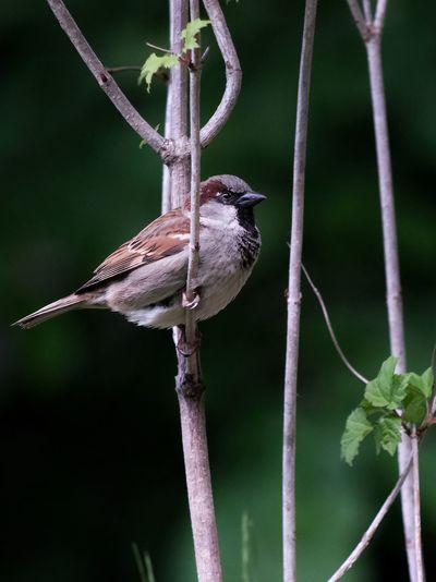 Spätzchen Bird Tree Close-up Animal Themes Sparrow