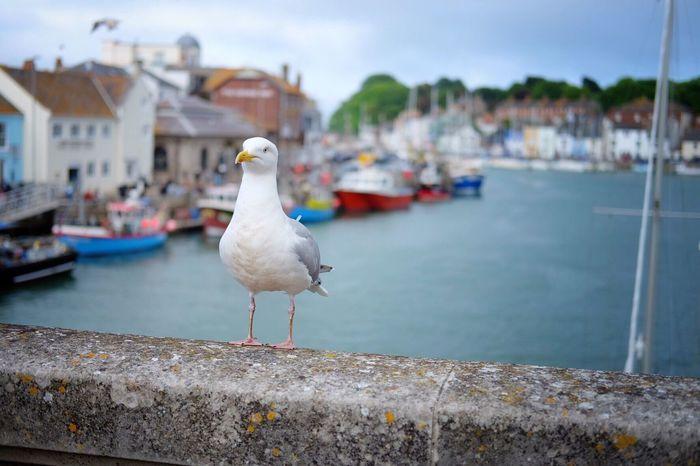 Weymouth Harbour Weymouth Dorset Weymouth Bridge Seagull Trawlers