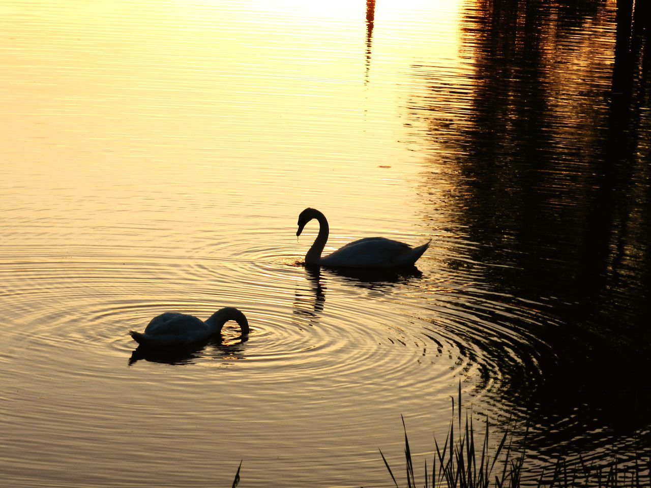 Swans Swimming In Lake During Sunset