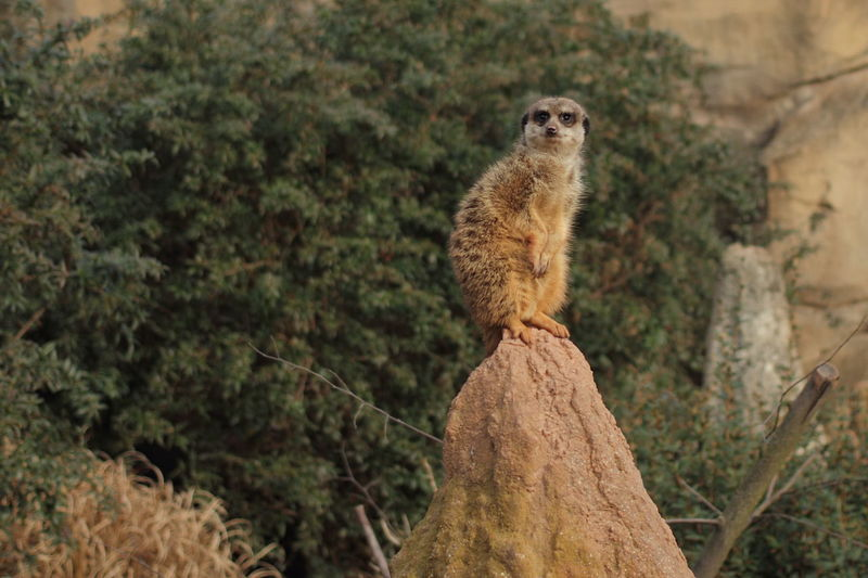 """YOU DANGEROUS? YOU GOD FOOD?"" Alertness Animal Themes Animals In The Wild Meerkat One Animal Wildlife Zoology"