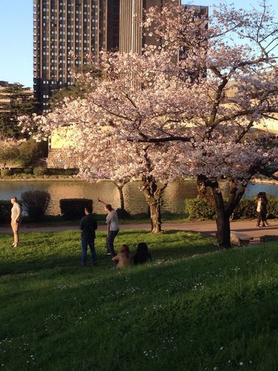 Cherry blossoms in park