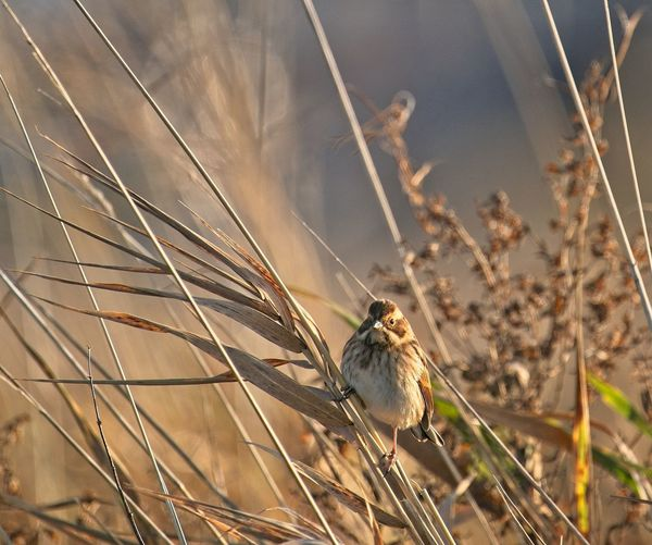 Close-up of reed bunting perching on dry bulrush stalk
