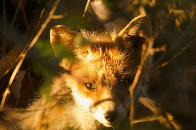 Nature Portrait Fox Day Outdoors Close-up Mammal No People Looking At Camera Animals In The Wild Animal Themes One Animal Focus On Foreground Animal Wildlife EyeEmNewHere Mgphoto