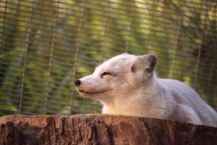 Close-up of meerkat