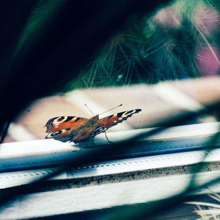 Outside my window Butterfly - Insect Butterfly Collection Peacockbutterfly Pfauenauge Vscofilm VSCO