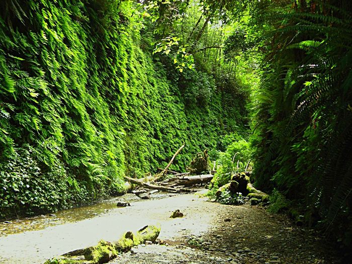 Fern canyon Ferns Nature Green Color Tranquility Outdoors Beauty In Nature No People Tranquil Scene Day Lush - Description