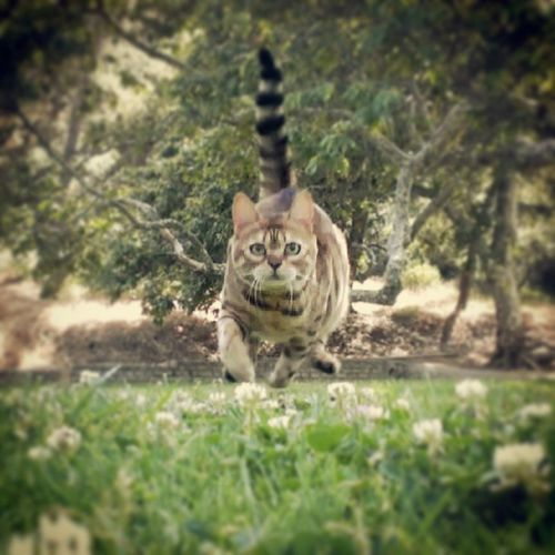 Highspeed Actionshot Fullbound Fullspeed Floatinginmidair @bengalsofinstagram Bengalsofinstagram
