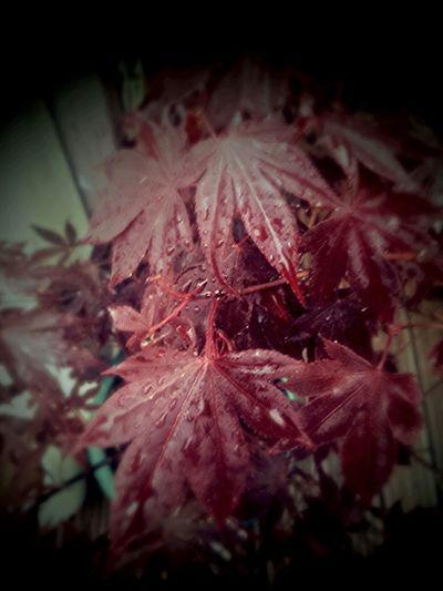 RedLeaves Dewdrops Acer Palmatum