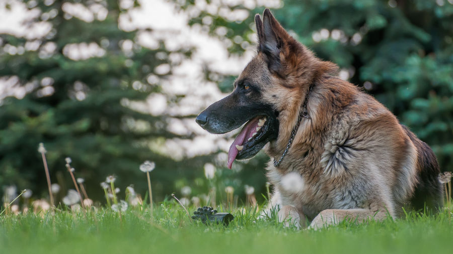 Animal Themes Day Dog Domestic Animals German Shepherd Grass Mammal Nature No People One Animal Outdoors Pets