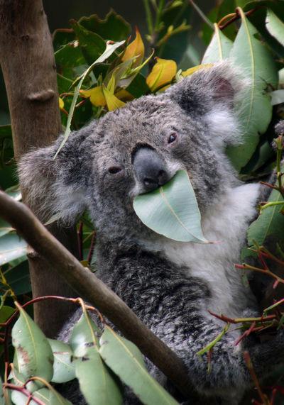 Portrait of koala biting leaf on tree