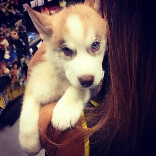 I'm Inlove With This Puppy! $800 Male Siberian Husky
