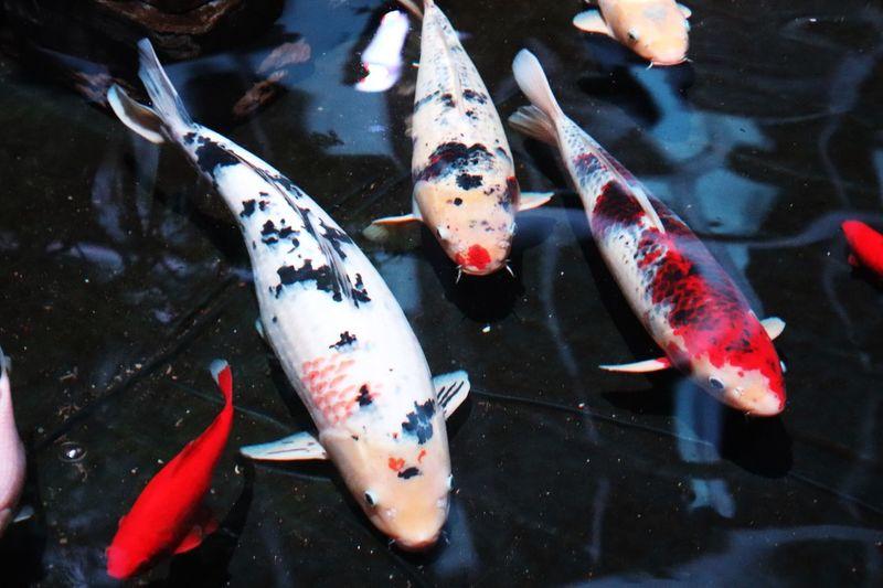 Fish Animal Swimming Vertebrate Water Group Of Animals Animal Wildlife School Of Fish Sea Life Pond Koi Carp