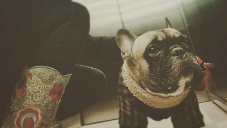 Charlie Frenchie Frenchbulldog Dog Animal Valenki