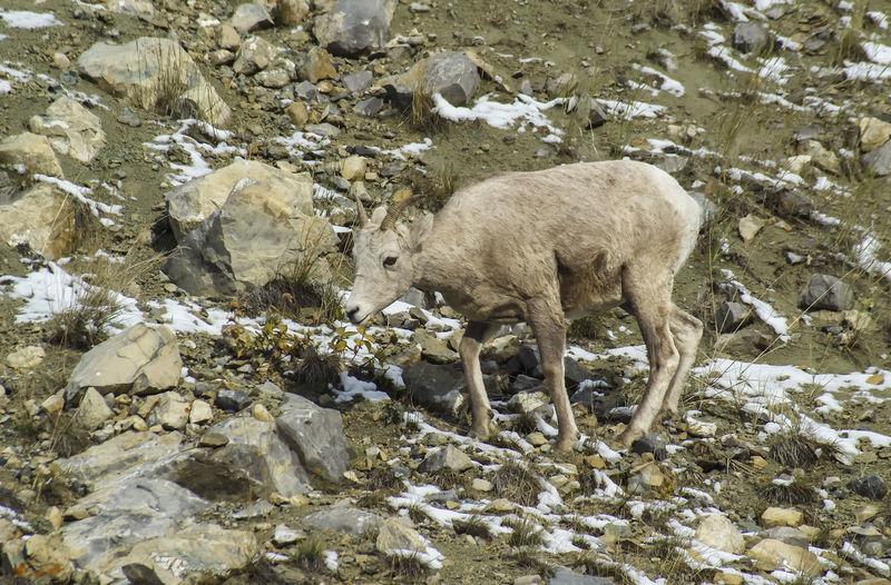 Bighorn sheep Canada Alberta Wildlife & Nature Bighorn Sheep Wildlife Nature Wildlife Photography Sheep Mountain Animal Themes