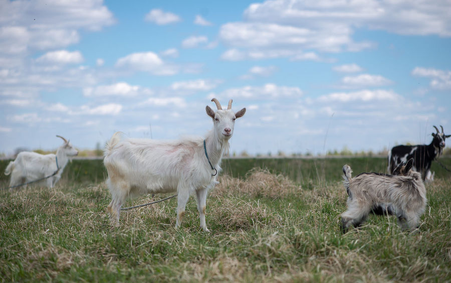 Agriculture Animal Themes Beauty In Nature Business Finance And Industry Cattle Breeding Cloud - Sky Cloud Sky Day Domestic Animals Farm Farm Life Field Goats Grass Latvia Livestock Mammal Nature No People Outdoors Pasture Pastures Sky Young Animal