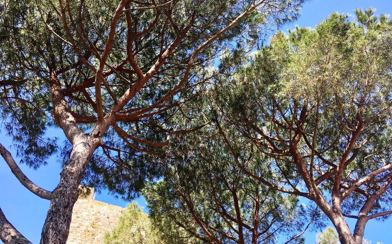 Maritime Pines - Tree Branch Nature Beauty In Nature Sunlight Landscape Castiglione Della Pescaia The Great Outdoors - 2017 EyeEm Awards The Great Outdoors - 2017 EyeEm Awards The Great Outdoors - 2017 EyeEm Awards Place Of Heart Lost In The Landscape