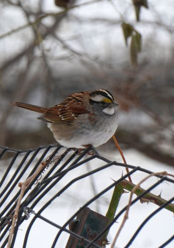 Golden crowned Sparrow looking all puffy. Blurred Background Depth Of Field Focus On Subject Photography Winter Bird Snow Animal Wildlife Cold Temperature One Animal Nature Perching Animals In The Wild Day Animal Themes Close-up Outdoors