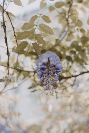 Wisteria 😍 Chasinglight Wisteria Flowers EyeEm Flower Wisteria Flower Flowering Plant Fragility Beauty In Nature Growth Close-up Vulnerability  Nature Freshness Inflorescence Flower Head Petal Springtime Summer Exploratorium