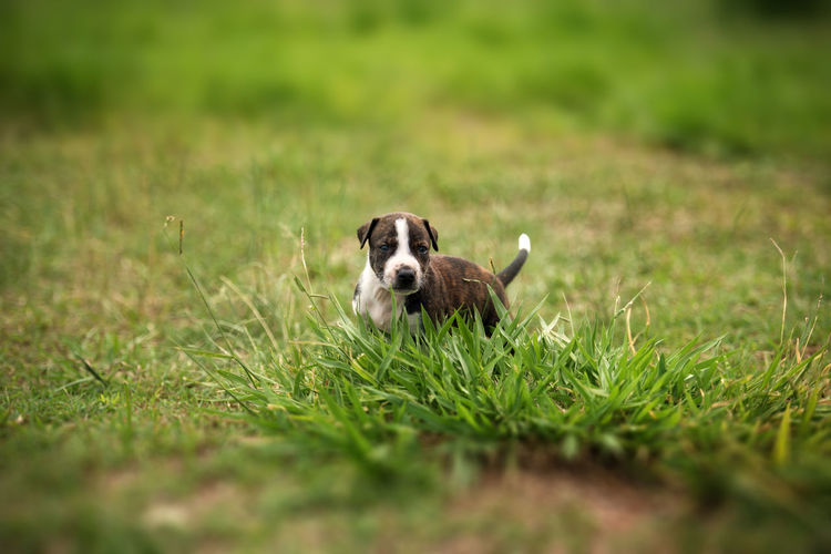 Puppy in the Grass Animal Themes Day Dog Domestic Animals Field Grass Green Color Mammal Nature No People One Animal Outdoors Pets Portrait Selective Focus