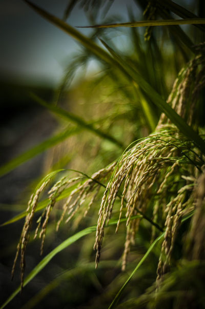 Agriculture Agronomy Beauty In Nature Close-up Detail Food Grains Green Growing Growth Nature Nature Paddy Padi Plant Plantation Rice Ripe Riping