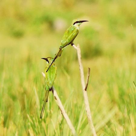 Green Bee Eater @ponrajanvikram GreenBeeEater Couple Nature Bird Green Chennai India Photography Ponrajanvikram Halvat Instaphoto Instaclick