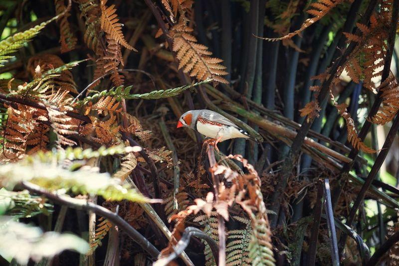 Zebrafinch One